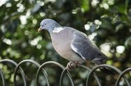 Stock Photo of grey dove perched on wire fence