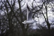 Closeup view of a seagull in flight Stock Photos