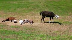 Lamas Stock Footage