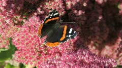 Red Admiral Butterfly Stock Footage
