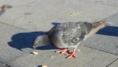 Pigeons feeding. Close-up Stock Footage
