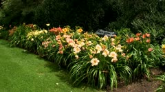 Daylily garden Stock Footage