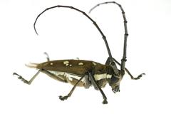 Insect long horn beetle Stock Photos