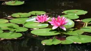 Stock Video Footage of Pink lotus flowers; 2