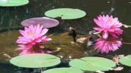 Stock Video Footage of Pink lotus flowers; 3