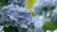 Stock Video Footage of Hydrangeas