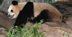 giant panda bear sleep - stock photo