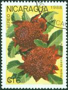 stamp printed in Nicaragua shows Telopea speciosissima or waratah, circa 1988 - stock photo
