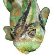 reptile animal lizard anole chameleon - stock photo