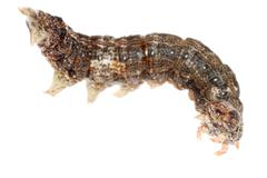 Butterfly moth caterpillar larva Stock Photos