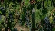 Pinot noir grapes  at the vineyard Stock Footage