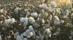 Cotton Crop Scenic Stock Footage