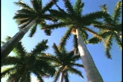 Palms, low looking up into the tops, pan, moody, St. George, Bermuda Stock Footage