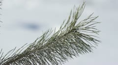 Pine tree blowing in the wind in winter - stock footage