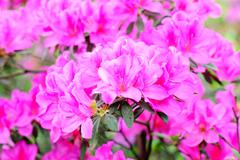 azalea flowers - stock photo