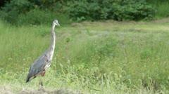 Lanky Bird Walking slowly Stock Footage
