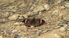 Buckeye Butterfly II Stock Footage