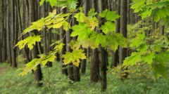 Branches of maple tree Stock Footage