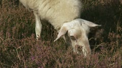 Veluwe Heath Sheep grazing heath field cu 02p Stock Footage