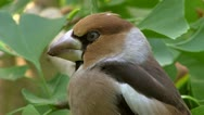 Stock Video Footage of hawfinch