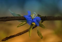 Close up /wild blue - stock photo