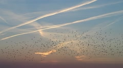 Migrating birds huge flog of birds - stock footage