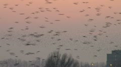 Migrating birds huge flog of birds Stock Footage
