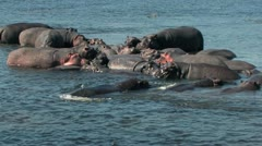 Hippo Pod Stock Footage