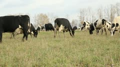 Cowshed. Cows on the Farm Stock Footage