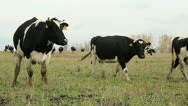 Stock Video Footage of Cowshed. Cows on the Farm