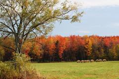 Maple trees with hay bales 1 - stock photo