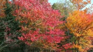 Maple trees in fall Stock Footage