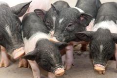 farm animal pig baby pet Stock Photos