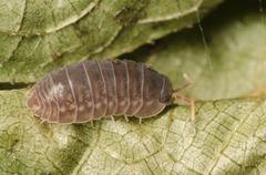 animal pill bug macro Stock Photos