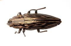 jewel beetle isolated on white Stock Photos