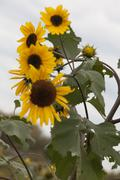 Cluster of Small Sunflowers - stock photo
