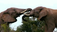 elephant males in a dispute - stock footage