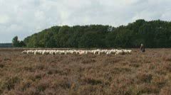 Shepherd with flock of sheep in heath field zoom out 05p Stock Footage