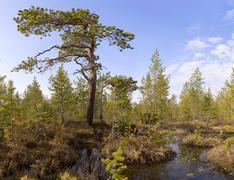 the pine among bog - stock photo