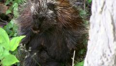 The CUTEST baby North American Porcupine nursing from mother. Stock Footage