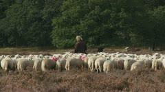 Shepherd with flock of sheep in heath field walking away 06p Stock Footage