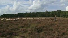 Shepherd with dog walks towards flock of sheep in heath field 07p Stock Footage