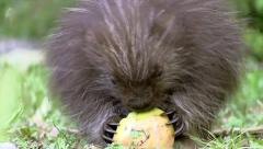 The CUTEST baby North American Porcupine eating an apple. Stock Footage