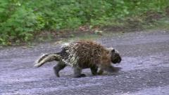 A North American Porcupine walking along a road with a leaf stuck to its foot. - stock footage