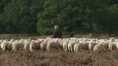 Shepherd with flock of sheep in heath field walking away 06i Stock Footage