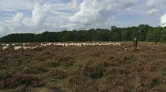 Shepherd with dog walks towards flock of sheep in heath field 07i Stock Footage