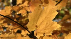 Autumn leaf blowing in the wind. Stock Footage