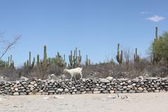 Views of RUINAS DE QUILMES whit goat - Argentina - stock photo