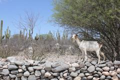 Goat in the ruins of Cuilmes - Argentina Stock Photos