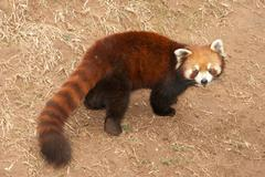wild animal lesser panda bear - stock photo